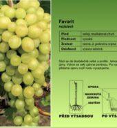 Vinná réva – různé druhy i bezsemenné
