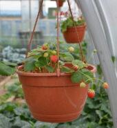 Jahody závěs