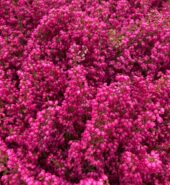 Vřesovec (růžový) Erica Gracilis
